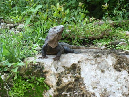 Iguana at Tulum, Mexico