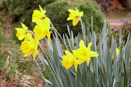 Daffodils at Deep Cut Gardens